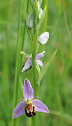 Flower spike of a Bee Orchid (Ophrys apifera). Rye Harbour Nature Reserve. Rye, Sussex, UK