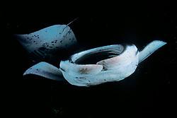 reef manta rays or coastal mantas feeding on plankton at night, Manta alfredi, Kona Coast, Big Island, Hawaii, USA, Pacific Ocean