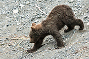 A Brown bear cub roll walks down the spit on the beach at the McNeil River State Game Sanctuary on the Kenai Peninsula, Alaska. The remote site is accessed only with a special permit and is the world's largest seasonal population of brown bears in their natural environment.