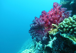 A magnificent magenta soft coral on The Wall at Mermaid Reef at the Rowley Shoals.