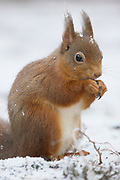Red squirrel, Sciurus vulgaris, winter coat, eating on ground in pinewood, Strathspey, Highland, feeding