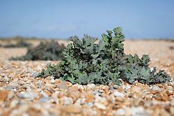Sea Kale growing in the shingle at Dungeness, Kent. Crambe maritima