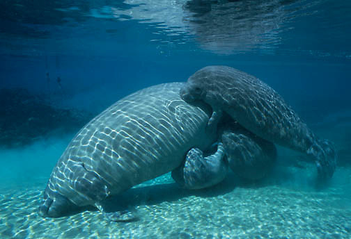 West Indian Manatee (Trichechus manatus) in a freshwater river on the west coast of Florida.