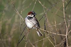 Sparrows, etc.