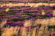 Heather in full bloom on heathland. Dorset, UK.
