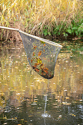 Removing leaves from a pond with a net.