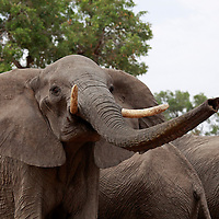 Africa, Botswana, Savute. Elephant using trunk to smell in Chobe National Park.