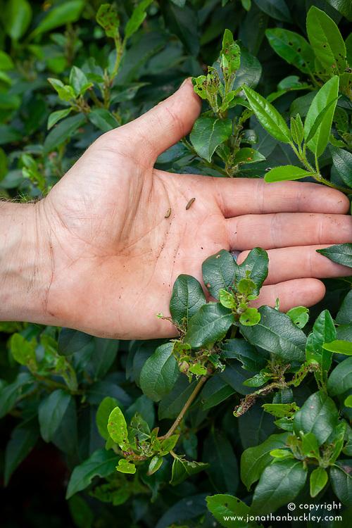 Showing viburnum beetle grub and the damage they do to foliage - Viburnum tinus