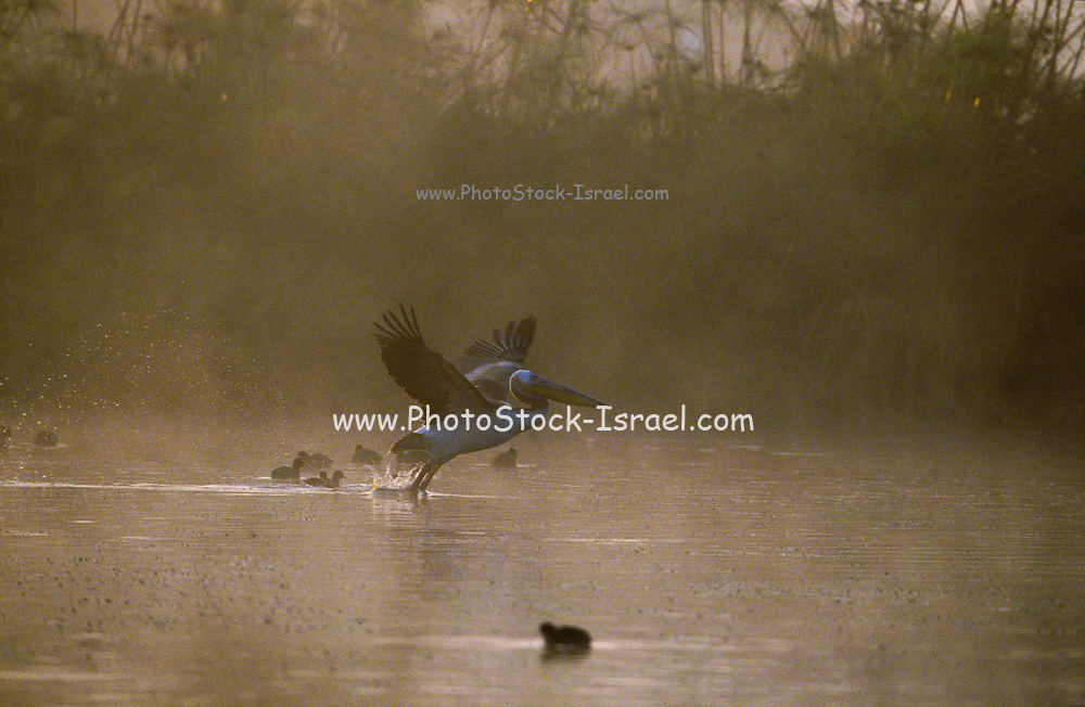 Great White Pelican (Pelecanus onocrotalus) in flight. on a misty pond. Photographed in Israel in Winter