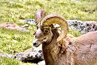 Glance from a Ram bighorn sheep in RMNP Colorado