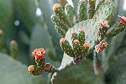 Red flowers of an Opuntia cactus , commonly called prickly pear, is a genus in the cactus family, Cactaceae photographed in a Cactus and succulent garden Photographed in Tel Aviv, Israel in May