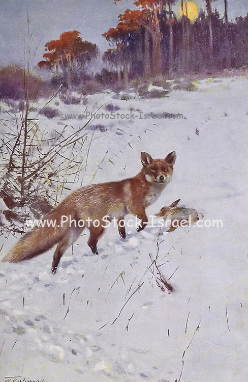 red fox (Vulpes vulpes here as Canis vulpes or Vulpes alopex) from the book '  Animal portraiture ' by Richard Lydekker, and illustrated by Wilhelm Kuhnert, Published in London by Frederick Warne & Co. in 1912