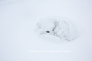 01863-01613 Arctic Fox (Alopex lagopus) curled up in winter Churchil Wildlife Management Area Churchill, MB