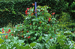 Blue painted wooden obelisk with Runner bean 'Scarlet Emperor' and Sweet pea 'Red Ensign' - Lathyrus odoratus