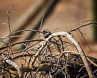 Cape Sparrow. Darling Wind Farm, Western Cape, South Africa. Image taken with a Nikon 1 V3 camera and 70-300 mm VR lens