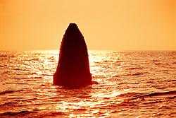 humpback whale spyhopping at sunset, Megaptera novaeangliae, Hawaii, Pacific Ocean