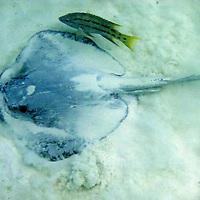 South America, Ecuador, Galapagos, Espanola. Sing Ray settling in sand of Espanola beach.