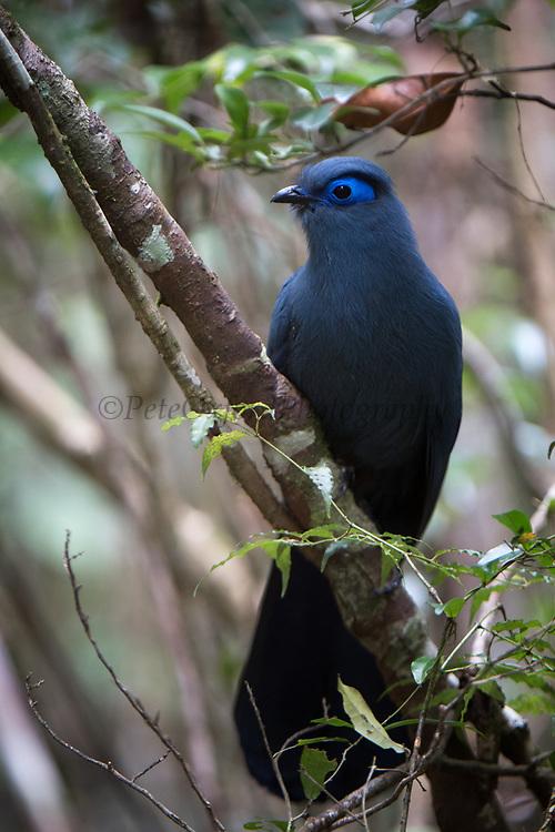 Blue coua (Coua caerulea)<br /> East Madagascar<br /> Mantadia National Park<br /> MADAGASCAR<br /> ENDEMIC