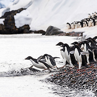 Adelie penguins gather on the shoreline of Brown Bluff before diving into the icy waters surrounding Antarctica.