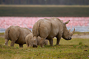White rhinoceros or Square-lipped rhinoceros (Ceratotherium simum) with calf Photographed Lake Nakuru, Kenya