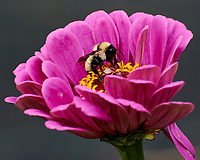 Bumblebee feeding on a Zinnia flower. Image taken with a Nikon 1 V3 camera and 70-300 mm VR lens.
