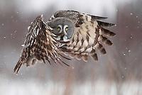 WILD GREAT GREY OWL, STRIX NEBULOSA february finland 2009