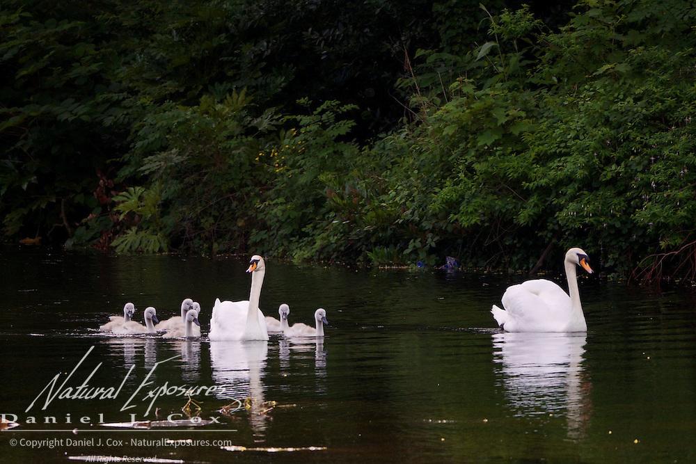Family of Mute Swans in Saint Stephen's Green Park, Dublin, Ireland.