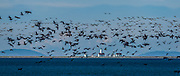Brant geese in flight, April, Dungeness Lighthouse, Strait of Juan de Fuca, Salish Sea, Clallam County, Washington, USA