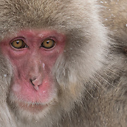Snow Monkey, family huddling together for warmth in the cold of winter. Jogikudani Monkey Park,  Japan.