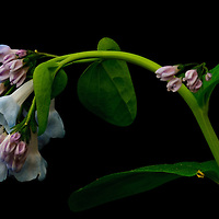 Close-up of a Virginia bluebell(Mertensia virginica), with mature flowers and buds, growing in floodplain forest along the banks of the Potomac River, Turkey Run Park, George Washington Memorial Parkway, Virginia.