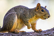 A fox squirrel (Sciurus niger) poses on an oak tree branch in Potholes State Park in Grant County, Washington. The fox squirrel is the largest tree squirrel native to North America, though its original range consisted of the eastern half of the continent. It was introduced to several western states, including Washington, as well as the Canadian province of British Columbia.