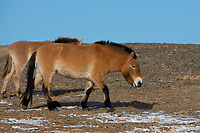 Przewalski's horse, mare with foal, Equus przewalskii or Equus ferus przewalskii, also called the Mongolian wild horse or Dzungarian horse, Kalamaili National Nature Reserve, Xinjiang, China. These individuals rounded up into a feeding enclosure during winter, for reasons of increased survival possibilities for the species. Wild, but in a temporary enclosure over winter.