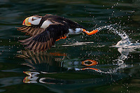 Horned puffin takes off, leaving beautiful reflections