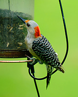 Female Red-bellied Woodpecker. Image taken with a Fuji X-T2 camera and 100-400 mm OIS lens