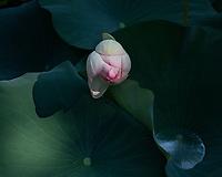 Lotus Flower Irmo, South Carolina  photo by catherine brown
