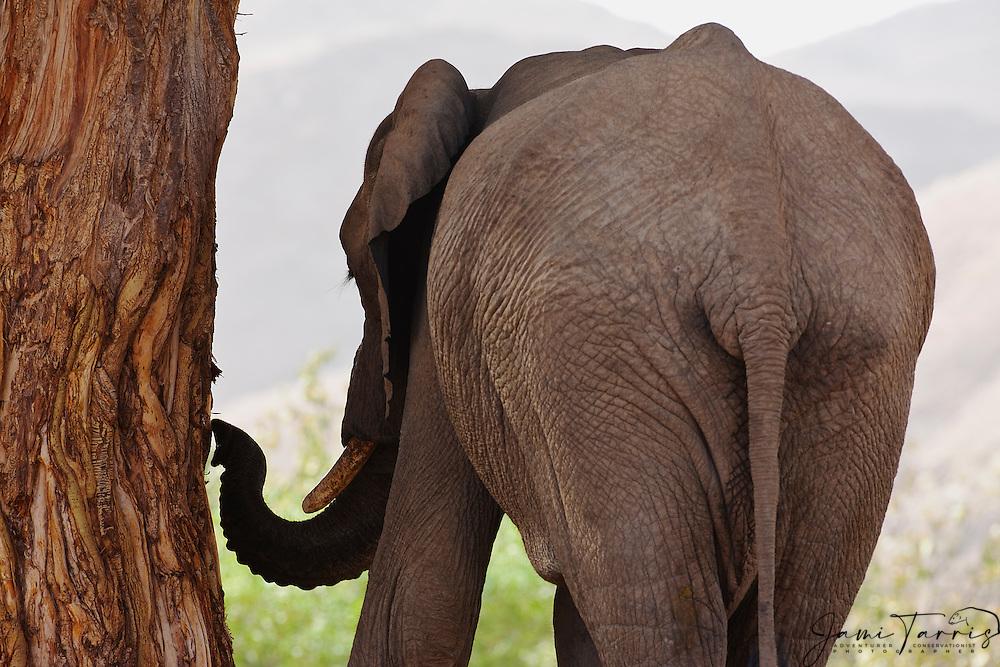 A desert-dwelling elephant (Loxodonta africana africana) pulling bark from a tree, Skeleton Coast, Namibia,Africa