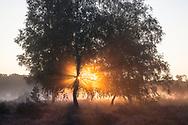 flowering common heather (Calluna vulgaris) and birch trees in the Wahner Heath near Telegraphen hill, morning fog, sunrise, Troisdorf, North Rhine-Westphalia, Germany.<br /> <br /> bluehende Besenheide (Calluna vulgaris) und Birken in der Wahner Heide nahe Telegraphenberg, Morgennebel, Sonnenaufgang, Troisdorf, Nordrhein-Westfalen, Deutschland.
