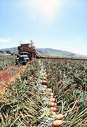 Picking Pineapple, Lanai, Hawaii