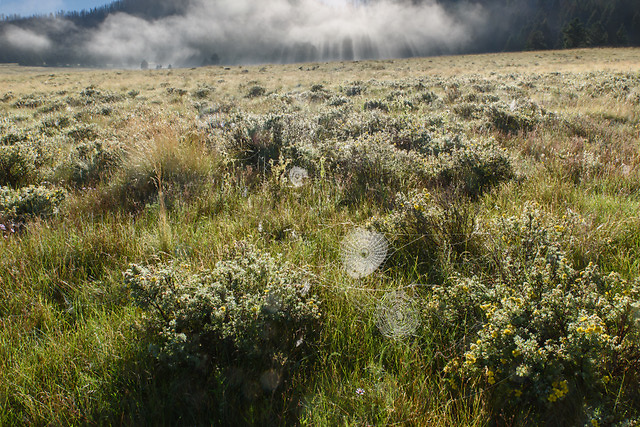 Early morning fog lifts from the Valle Grande, revealing a dew-covered grassland with orb webs strung from shrubby cinquefoil, Valles Caldera National Preserve © David A. Ponton
