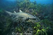 sand tiger ( grey nurse ) shark, juvenile, Carcharias  taurus NSW, Australia