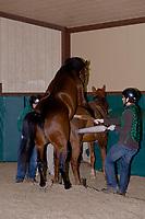 Breeding thoroughbred horses (Spring at Last (stallion) and Little Bonnet (mare)), Winstar Farm (thoroughbred horse farm), Versailles (near Lexington), Kentucky USA
