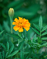 Marigold Flower. Image taken with a Leica SL2 camera and 90-280 mm lens.