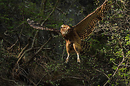 Brown fish owl, Bubo or Ketupa flavipes, Tangjiahe National Nature Reserve, NNR, Qingchuan County, Sichuan province, China