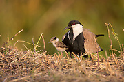 Adult and chick Spur-winged Lapwing or Spur-winged Plover (Vanellus spinosus) Photographed in Israel in Spring April