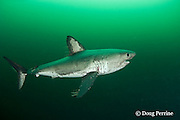 salmon shark, Lamna ditropis, female with mating scars on flank and pectoral fin, and copepod parasites trailing from all fins, Port Fidalgo, Prince William Sound, Alaska, U.S.A.; this apex predator, sometimes called the Pacific porbeagle, is a mackerel shark in the order Lamniformes; it swims in cold water, but is warm-blooded ( homeothermic )