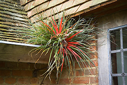 Fascicularia bicolor growing in the guttering on the roof at Great Dixter