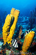 banded butterflyfish. Chaetodon striatus,<br /> in yellow tube sponges, Aplysina fistularis,<br /> St. Vincent ( Caribbean Sea )