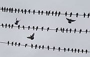 Under cloudy skies, a few pigeons look for a place to land on some wires along S. Graham St. near Martin Luther King Jr. Way S. in Seattle. (Ellen M. Banner / The Seattle Times)
