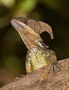 Common Basilisk, Basiliscus basiliscus