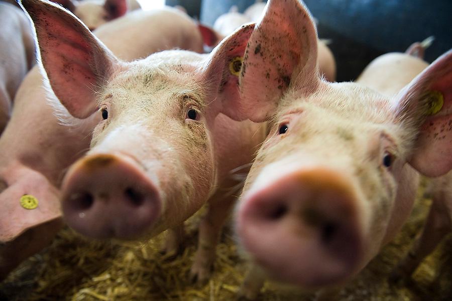Nederland, Rucphen, 20 okt 2010.Biologische Scharrelvarkenshouderij. Scharrelvarkens hebben meer ruimte, meer stro, leven beter...Foto (c)  Michiel Wijnbergh